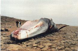 LA TRANCHE SUR MER - 27 Novembre 1922 - Baleine échouée A La Pointe Du Grouin - Tirage Numéroté Et Limité (96381) - La Tranche Sur Mer