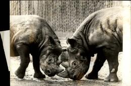 PHOTO - Photo De Presse - Emission Télé - La Vie Des Animaux - Rhinocéros - 1974 - Autres