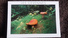 CPM CHAMPIGNON CEVENNES CEPES SOUS BOIS CEVENOL PHOTO DECORDE - Mushrooms