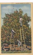 Picking Oranges In Florida Curteich - Cultivation