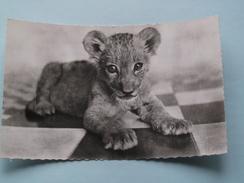 Le Petit LION ( 211 ) Faune Africaine - Anno 19?? ( Zie Foto Details ) !! - Lions