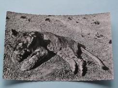 Jeune LION ( 1514 ) Faune Africaine - Anno 19?? ( Zie Foto Details ) !! - Lions