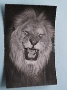 Le LION ( 294 ) Faune Africaine - Anno 19?? ( Zie Foto Details ) !! - Lions