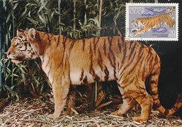 D29884 CARTE MAXIMUM CARD 1970 RUSSIA - ASIAN TIGER CP ORIGINAL - Big Cats (cats Of Prey)