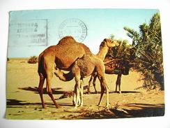 CAMELS IN THE DESERT   CAMMELLO     Arabie Saoudite  ARABIA  SAUDITA    ARAB    ASIA    POSTCARD   USED - Arabia Saudita