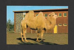 ANIMALS - ANIMAUX - JARDIN ZOOLOGIQUE DE GRANBY - CHAMEAU BLANC DE LA BACTRIANE - Animaux & Faune