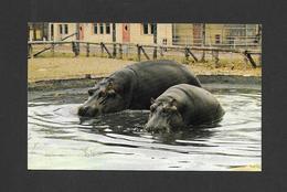ANIMALS - ANIMAUX - JARDIN ZOOLOGIQUE DE GRANBY - HIPPOPOTAMES D'AFRIQUE D'UN POIDS DE PLUS DE 4,000 LIVRES CHACUN - Animaux & Faune