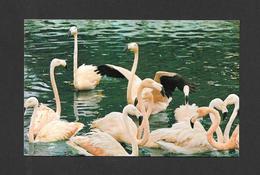 ANIMALS - ANIMAUX - JARDIN ZOOLOGIQUE DE GRANBY - DEUX ESPÈCES DE FLAMANTS VIVENT EN PARFAITE LIBERTÉ - Oiseaux
