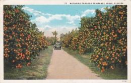Motoring Through An Orange Grove 1931 Curteich - Farms