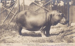 New York Zoo Hippopotamus 'Pete', Sent To Benedictine Monsastery, C1900s Vintage Postcard - Hipopótamos