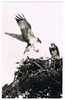 RB 1146 -  Photo Postcard - Ospreys At The Loch Garten Eyrie - Inverness-shire - Bird Theme - Oiseaux