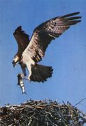 BIRDS - J ARTHUR DIXON - PSO 86712 OSPREY - Pájaros