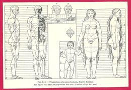 Proportions Du Corps Humain D'après Salvate  Larousse Médical Illustré 1929 - Vieux Papiers