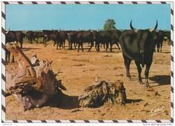 2X2874 EN CAMARGUE MANADE DE TAUREAUX 2 Scans - Breeding