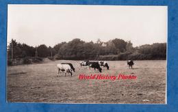 Photo Ancienne - BEG MEIL - Vaches Au Paturage - Septembre 1937 - Agriculture Vache Cow Elevage Bretagne - Places