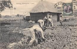 CUBA / Sorting Pineapples - Beau Cliché Animé - Cuba