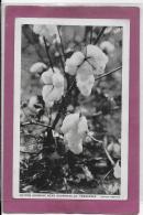 COTTON GROWING NEAR BROWNSVILLE TENESSEE - Autres