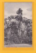 ASIE - SRI LANKA - ARBRES - NATURE - Travellers Palms Ou Arbre Du Voyageur Ou Ravenale Ou Ravinala. Ceylon - Sri Lanka (Ceylon)