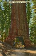 ARBRE(CALIFORNIE) AUTOMOBILE - Trees
