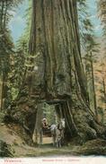 ARBRE(WAWONA) - Trees