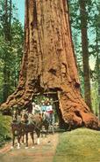 ARBRE(CALIFORNIE) - Trees