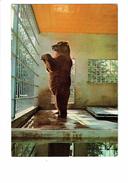 Cpsm - Parc Zoologique MONTEVRAN - 41 - Chaumont Sur Tharonne - Ours Géant KODIAC (N°6) - Bears