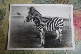 OLD Soviet Postcard  - ASKANIA NOVA RESORT - ZEBRA - 1930s - Very Rare Postcard - Zebras