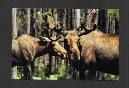 ANIMALS - ANIMAUX - ORIGNAL - ALCES ALCES - ZOO SAUVAGE DE ST FÉLICIEN - Animaux & Faune