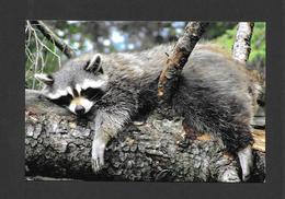 ANIMALS - ANIMAUX - RATON LAVEUR - PROCYON LATOR - ZOO SAUVAGE DE ST FÉLICIEN - Animaux & Faune