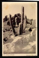 SNOWED CACTUS CACTI CHILE  ANDES MOUNTAINS Vintage Original Ca1900 POSTCARD CPA AK (W4_3398) - Sukkulenten