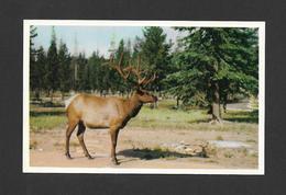 ANIMALS - ANIMAUX - ELK - WAPITI - CERVUS CANADENSIS -PAR G. MORRIS - Animaux & Faune