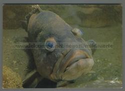 U9648 Animali MEROU PESCE EPINEPHELUS GIGAS MUSEE OCEANOGRAPHIQUE DE MONACO (m) - Pesci E Crostacei