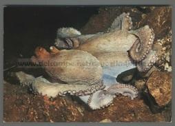 U9649 Animali POLPO POULPE OCTOPUS VULGARIS (m) - Pesci E Crostacei