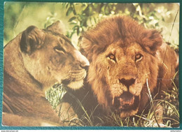 LION AND LIONESS - East Africa - Leoni