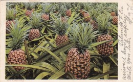 Florida Typical Pineapple Plantation 1906 - Other