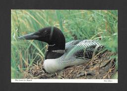 ANIMALS - ANIMAUX - OISEAUX - LE HUARD - THE LOON - PHOTO MILSERV - PAR ALEX WILSON - Oiseaux