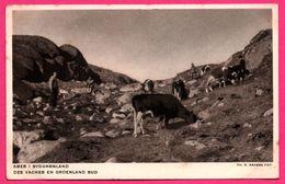 Des Vaches En Groenland Sud - Animée - L'Administration Du Groenland - H. PETERSEN - N. KRABBE FOT. - Groenland