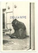 Singe. Gorille. Zoo D'Anvers. Photographie - Singes