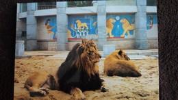 CPM LIONS DE L ATLAS   ZOO DE LA PALMYRE N°29 - Lions