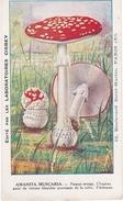 Chromo Des Laboratoires Cisbei, Amanite Tue Mouches - Chromos