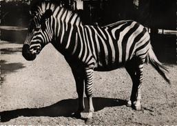 ZEBRE - EDITION MARCO LEVALLOIS - Zebras