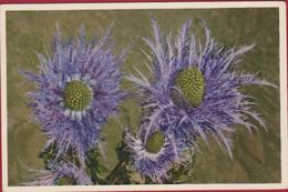 Bloem Flower Fleur Eryngium Alpinum (Chardon Bleu) Flor Fiore Blume Thisle Alpenmannstreu Edition Stehli Switzerland - Blumen