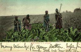 1906  ZULU WOMEN IN A CORNFIELD   AFRIQUE DU SUD SUDAFRICA  South Africa  - - Sudáfrica