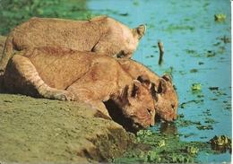 "Leonesse (Panthera Leo) Lionesses, East African Wild Life, Thematic Stamp 70C ""Kenia Uganda Tanzania Railway Locomotive"" - Leoni"