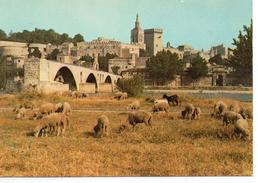Moutons.. Animaux Troupeau De Moutons Berger Ovin Agneau Agnelle Brebis Bélier Avignon Le Pont St-Bénézet - Autres