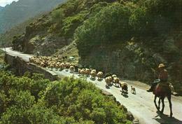 Moutons.. Animaux Troupeau De Moutons Berger Ovin Agneau Agnelle Brebis Bélier Cavalier Dans Les Alpes - Autres