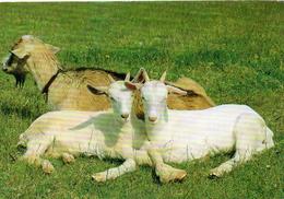 Chèvres.. Animaux Chevreau Cabris Bouc Chèvre - Autres