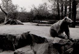 Photo Originale Animal De Zoo - Duo D'Ours Brun Sur Rocher Artificiel - Personnes Identifiées