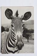 Zebra  In Zoo -  Old PC 1960s - Zebras