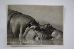 Old Mini Postcard  - Hippo With A Cub - Hippopotamuses
